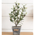 Small Potted Olive Bush