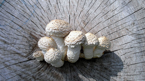 How to: Inoculate Logs by Mushroom Species – Asheville Fungi
