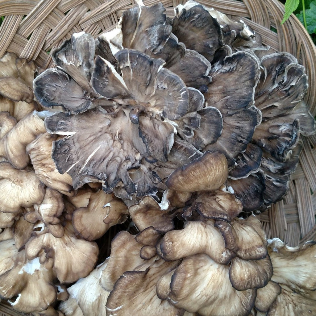 Maitake - AF1 - on Agar Plate - Cultures - Asheville Fungi - 1