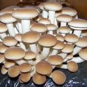 Asheville Fungi, for all your mushroom cultivation and