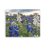 Bluebonnet Sunset Canvas