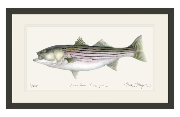 Striped Bass - 30