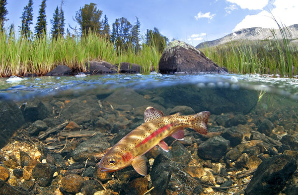 Golden Trout Wind River Range