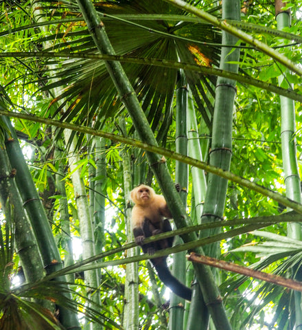10 Reasons Costa Rica will make you happy Monkey