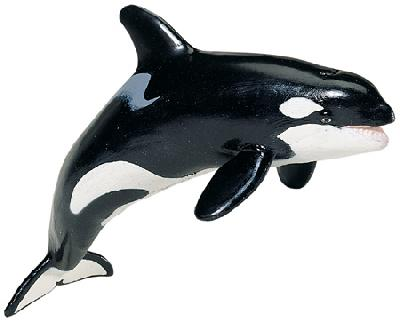 Monterey Bay Killer Whale Adult