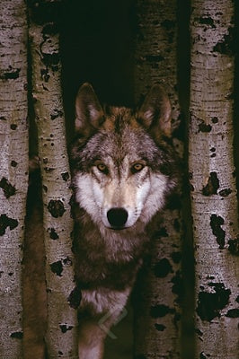 (E14) Gray Wolf Poster