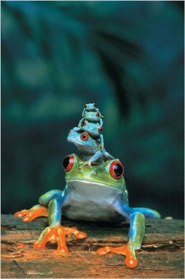 (E23) Red-Eyed Tree Frog Poster