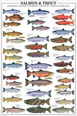 (E73) Salmon and Trout Poster
