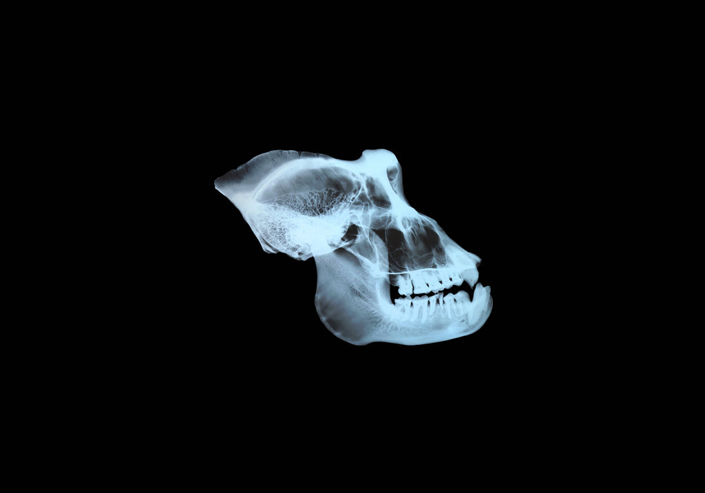 Gorilla skull: Heads-Up