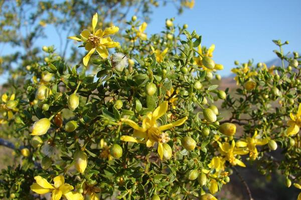 Chaparral or Creosote Bush - Larrea tridentata - 8 ounces