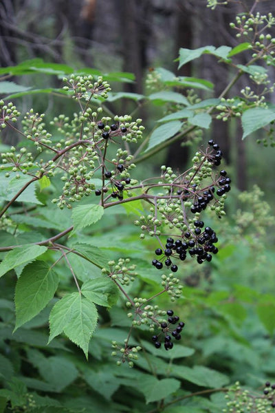 SPIKENARD ROOT EXTRACT  - (Aralia racemosa)  -   4 ounce size (Back Ordered but Still Can Order)