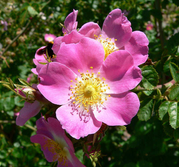 WILD ROSE OIL - Made In 100% Organic Argan Oil - 1 Ounce of Divinity!