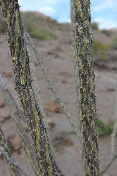 FRESH OCOTILLO BARK - Fouquieria splendens - 1 Pound Fresh Bark