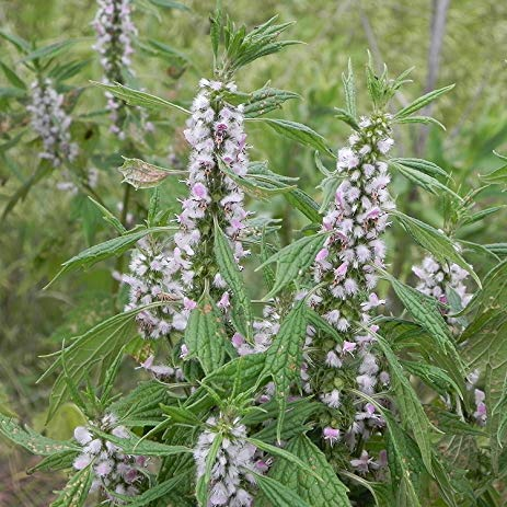 Motherwort - Leonurus cardiaca - Fresh Flower & Leaf Extract - 4 Ounce - Order NOW and Save - Will Ship In May!
