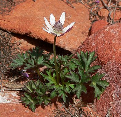 * Special Offering - ANEMONE Tuberosa - (Pulsatilla)  2 Ounce Fresh Plant Extract