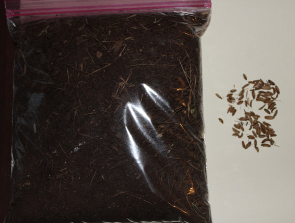 (50) OSHA SEEDS - Ligusticum porteri - With Mycelium Rich Soil