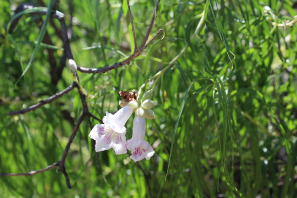 Desert Willow - Chilopsis linearis - 8 Ounces - Order NOW and Save - Will Ship In May!