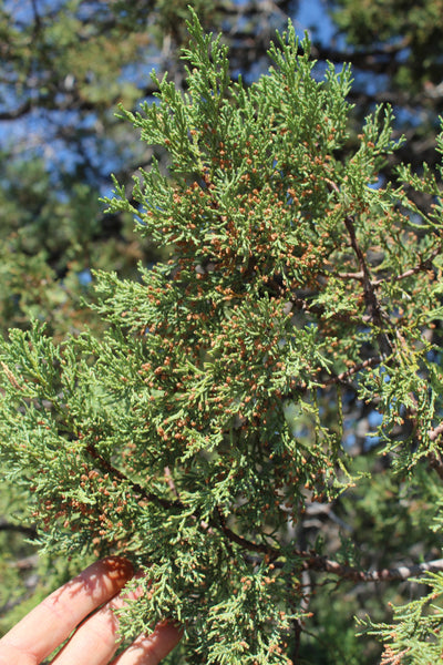 FRESH ALLIGATOR JUNIPER (Incense Juniper) - Juniperus deppeana - 1 pound Fresh Branch Ends