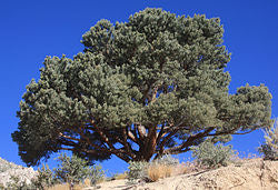 "Pinyon Pine Resin -      Pinus edulis - 8 Ounces of Fragrant Resin!       ""The Scent Of The High Desert""  - Scheduled Delivery End of December/2019"
