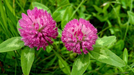 RED CLOVER - Flower & Whole Plant Extract  (Trifolium pratense) - 4 Ounce Size