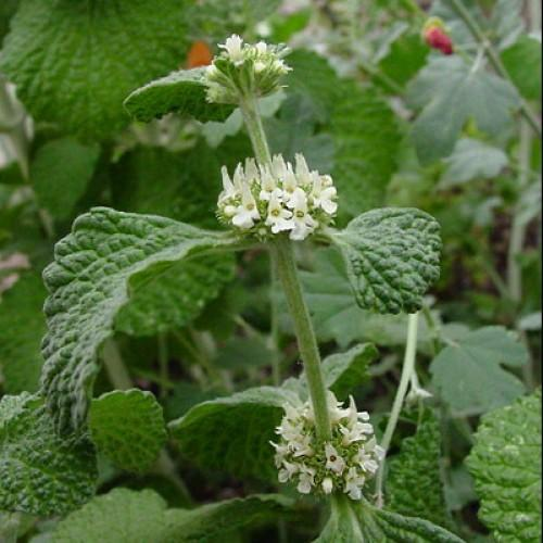 FRESH HOREHOUND Leaf & Flower - Marrubium vulgare - 1 Pound Fresh Leaf & Flower