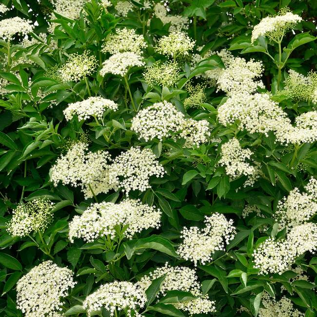 ELDER FLOWER - (Sambucus nigra) - Wildcrafted Fresh Flower Extract - 8 Ounce Size