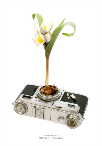 Photosynthesis no 07 - Contax II x Tulipa biflora - 70X100cm POSTER