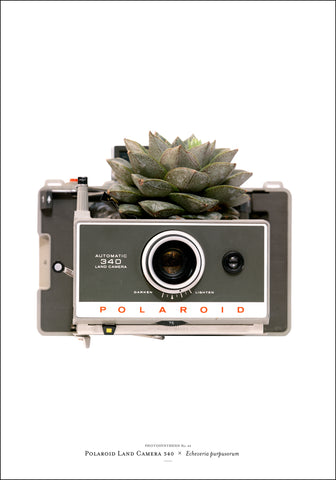 Photosynthesis no 49 - Polaroid Land Camera 340 x Echeveria purpusorum - 70x100cm POSTER