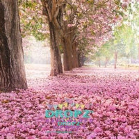 Backdrop - Cherry Blossom Trees