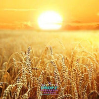 Backdrop - Golden Wheat Harvest