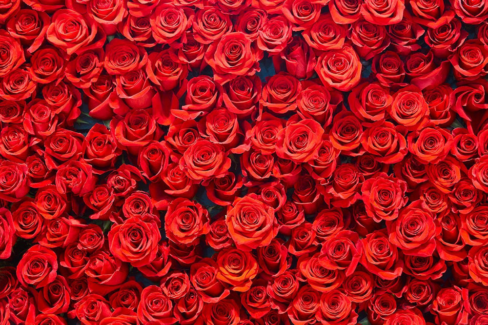Backdrop - Red Rose Photography Background