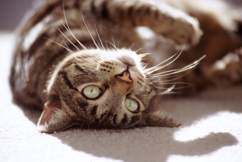 10 Most Popular Cat Breed