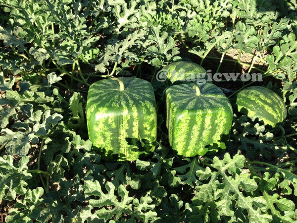 Square watermelon mold (free shipping)