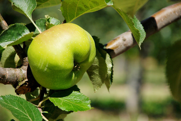 Bramley Apples - Each