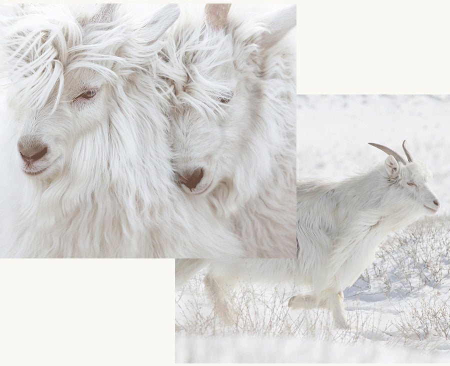 Inner mongolian cashmere goat fully tracable