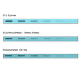 ECL Express Western Blot Chemiluminescent Substrate