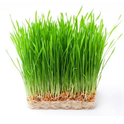 <b>Cat Grass</b><br>Oat<br><br