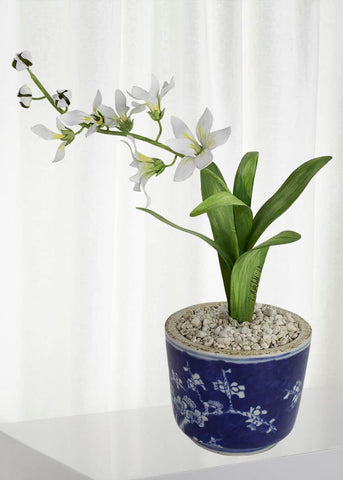 Freesia March Birth Flower in White Terracotta Pot