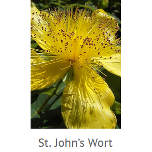 St. John's Wort Carrier Oil 2 fl.oz.