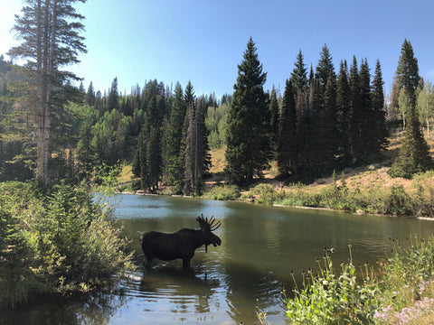 moose in lake