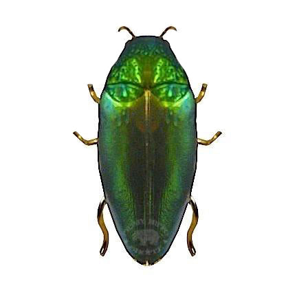 Jewel Beetle Brooch
