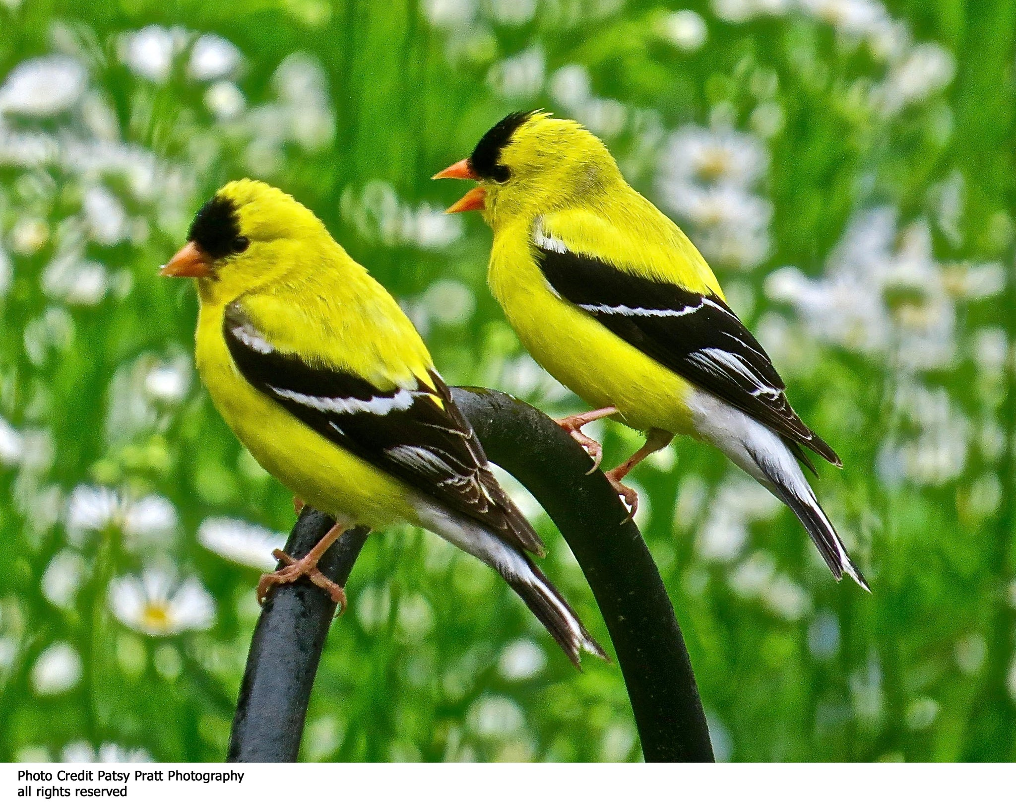 Male Yellow Goldfinches Custom Textile Hanging