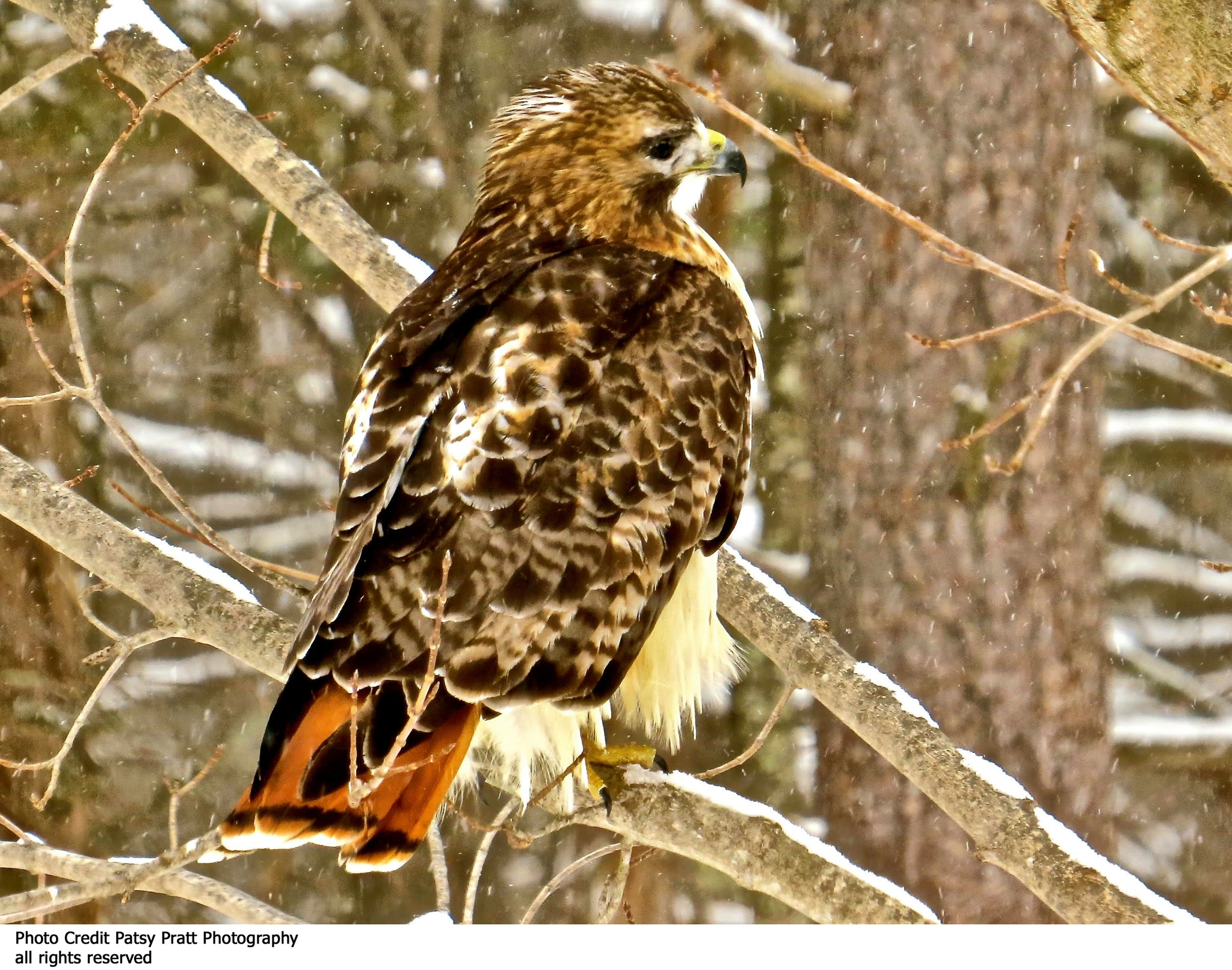 Red Tail Hawk Custom Textile Hanging