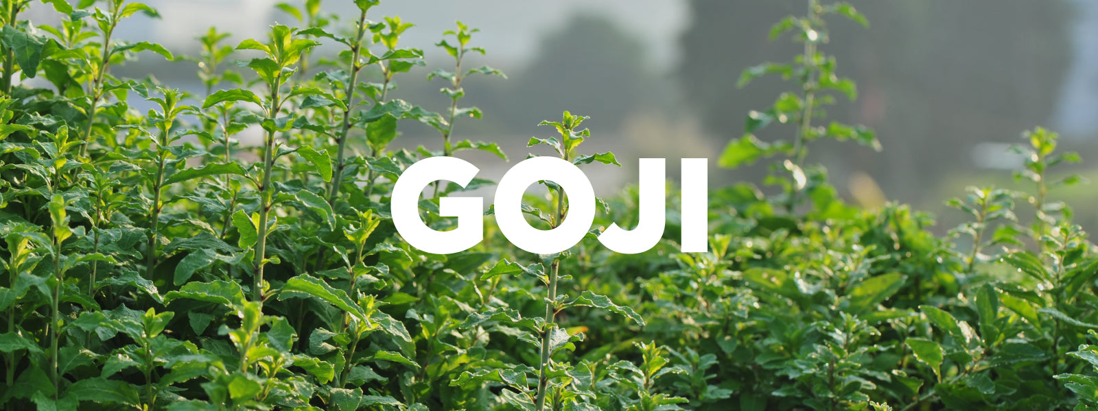 The Goji Berry from the 'Goji Belt', China.