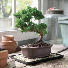 Givopoly mother's day bonsai flowers