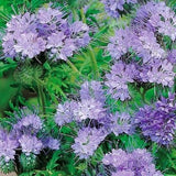 Phacelia (organic, LOCAL PRODUCT) 1/4 lb