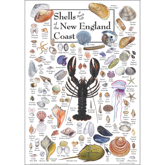 SHELLS OF THE NEW ENGLAND COAST POSTER