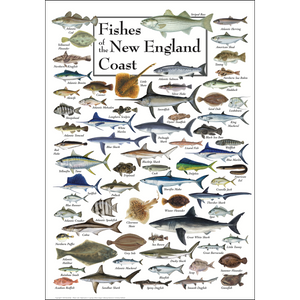 FISHES OF THE NEW ENGLAND COAST POSTER