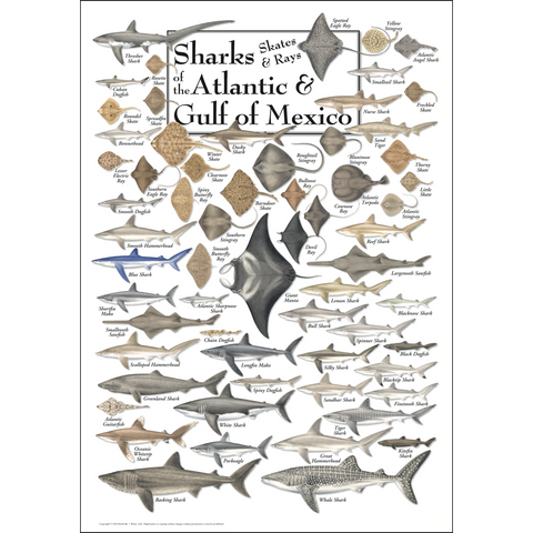 SHARKS, SKATES & RAYS OF ATLANTIC & GULF POSTER