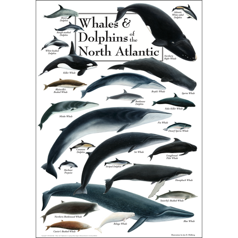 WHALES/DOLPHINS OF NORTH ATLANTIC POSTER